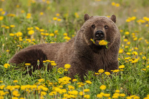 A Brown Bear Forages On Dandelions, Tatshenshini-Alsek Park, Accessible From The
