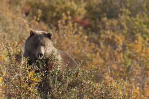 A Brown Bear Forages On Soapberries In The Tatshenshini-Alsek Wilderness Provincial Park