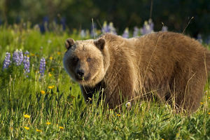 Brown Bear Foraging In Meadow Yukon Canada Spring Alsek-Tatshenshini Wilderness