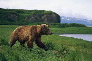 Brown Bear In Grass Mcneil River Sanctuary Sw Ak/Nsummer