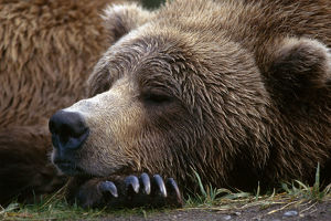 Brown Bear Resting Katmai Natl Park Southwest Alaska Summer Portrait