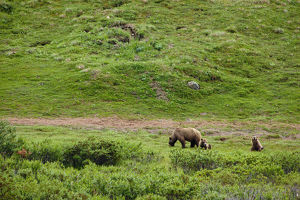 Brown Bear Sow With Two Cubs, Denali National Park, Interior Alaska, Summer