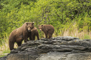 Brown Bear Sow And Cubs In Kukak Bay, Katmai National Park & Preserve, Alaska