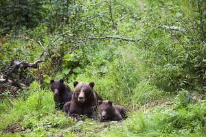 Brown Bear Sow And Cubs (Ursus Arctos) Resting In A Lush Forest, South-Central Alaska