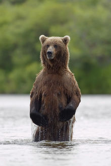 Brown Bear Sow Standing In River Fishing For Sockeye Salmon Katmai National Park