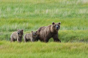 Brown Bear Sow Walks With Her Cubs In A Grassy Meadow, Chinitna Bay, Lake Clark National