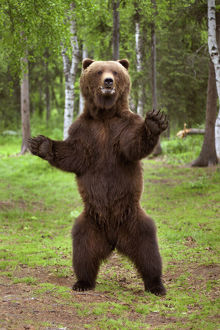 Brown Bear Standing On Hind Legs Southcentral Alaska Summer