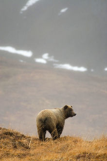 Brown Bear Standing On Ridge In Rain @ Highway Pass Denali National Park Interior