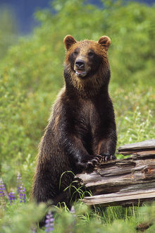 Brown Bear Standing Upright On Log Captive Alaska Wildlife Conservation Center