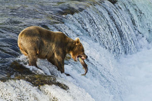 Brown Bear (Ursus Arctos) About To Catch A Jumping Sockeye Salmon (Oncorhynchus Nerka)