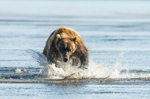 Brown Bear (Ursus Arctos) Chasing Fish, Katmai National Park; Alaska, United States