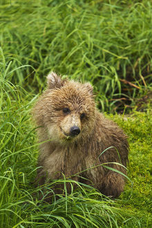 Brown Bear (Ursus Arctos) Cub Close-Up, Sitting In Grass, Katmai National Park And