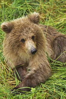 Brown Bear (Ursus Arctos) Cub Close-Up, Lying In Grass, Katmai National Park And Preserve