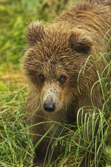 Brown Bear (Ursus Arctos) Cub Close-Up, Standing In Grass, Katmai National Park And