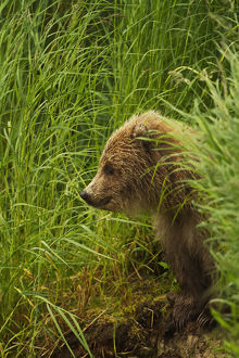Brown Bear (Ursus Arctos) Cub Sitting On Grassy Bank Of Brooks River, Katmai National