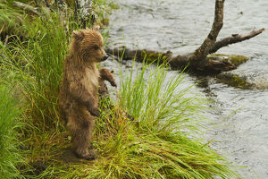 Brown Bear (Ursus Arctos) Cub Standing In Grass At Edge Of Brooks River In Rain
