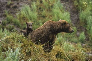 Brown Bear (Ursus Arctos) Cubs Sitting By The Side Of Mother On Grassy Hillside During