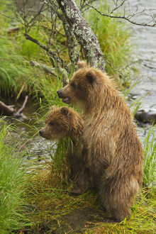 Brown Bear (Ursus Arctos) Cubs Standing Upright On A Grassy Bank Of Brooks River