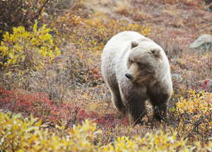 Brown Bear (Ursus Arctos) In Denali National Park With Autumn Colours;Alaska United