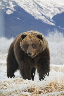Brown Bear (Ursus Arctos) In The Frosty Grass, Captive At The Alaska Wildlife Conservation