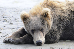A Brown Bear (Ursus Arctos) Lays On The Sand, Katmai National Park; Alaska, United