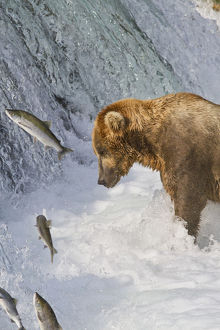 Brown Bear (Ursus Arctos) Standing In Rapids Below Brooks Falls While Looking At