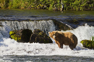 Brown Bear (Ursus Arctos) Standing In Rapids Below Brooks Falls While Fishing For