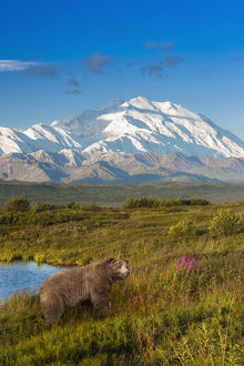 Brown Bear (Ursus Arctos) Walking In A Grass Meadow With Mount Mckinley In The Distance