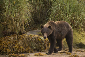 Brown Bear (Ursus Arctos) Walking On Sand Beside Tall Grass; Alaska, United States