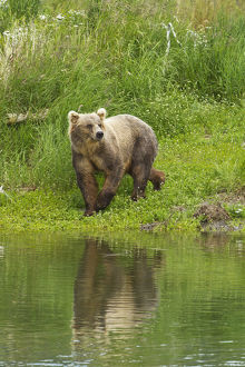 Brown Bear (Ursus Arctos) Walking On Vegetated Bank Of Brooks River While Fishing