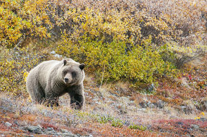 Brown Bear (Ursus Arctos) Walks Along In Denali National Park With Autumn Colours;Alaska