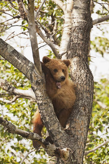 Brown Bear (Ursus Arctos) Yearling Cub, Abandoned By Mother, Resting In Cottonwood Tree