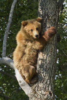 Brown Bear (Ursus Arctos) Yearling Cub Climbing Down From Balsam Poplar Tree (Populus