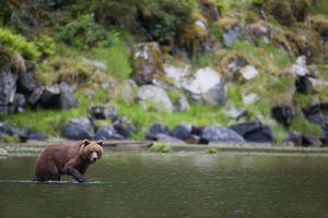 Brown Bear Wades Through A Stream Looking For Salmon, Prince William Sound, Chugach