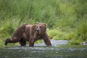 Brown Bear Wades Through A Stream Near Prince William Sound, Chugach Mountains, Chugach