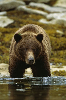Brown Bear Walking Into River On Shoreline Sw Ak Summer Geographic Harbor