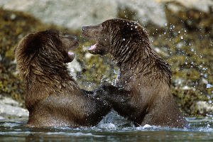 Two Brown Bears Fighting In River Geographic Harbor Ak Sw Summer