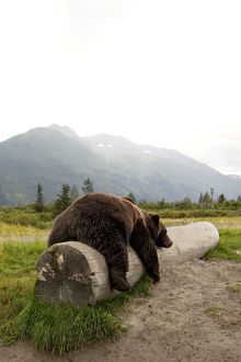 Captive Adult Brown Bear Rests On A Log At The Alaska Wildlife Conservation Center