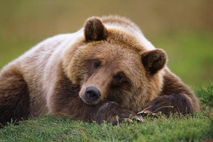 Captive Brown Bear Laying Down At Alaska Wildlife Conservation Center