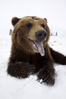 Captive Brown Bear Resting In Snow At The Alaska Wildlife Conservation Center, Southcentral