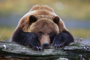 Captive Brown Bear Rests With It Front Legs Outstretched On A Log At The Alaska Wildlife