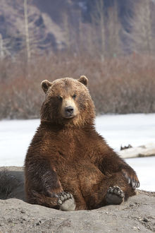 Captive: Brown Bear Sits On Its Rump At Alaska Wildlife Conservation Center, Southcentral