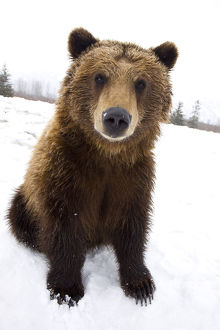 Captive Brown Bear Sitting In Snow At The Alaska Wildlife Conservation Center