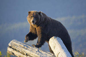 A Captive Brown Bear Stands On A Log Pile In Late Afternoon At Alaska Wildlife Conservation