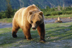 Captive Brown Bear Walking Within Alaska Wildlife Conservation Center Summer Southcentral