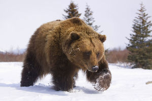Captive Brown Bear Walks In Snow During Winter At The Alaska Wildlife Conservation Center