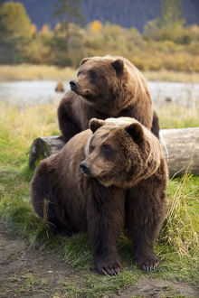 Captive: Two Brown Bears Sitting Near Log At The Alaska Wildlife Conservation Center