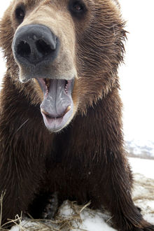 Captive: Close Up Of A Brown Bear With Mouth Open, Alaska Wildlife Conservation Center