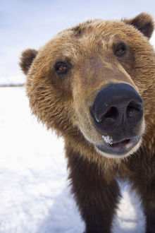 Captive Extreme Close-Up Of Brown Bear At The Alaska Wildlife Conservation Center