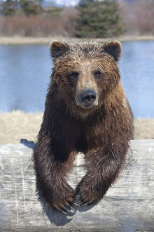 Captive Female Brown Bear At The Alaska Wildlife Conservation Center, Southcentral Alaska